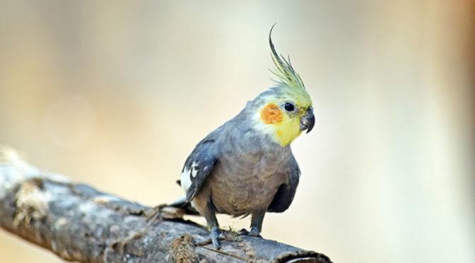 Nimfele cei mai mici papagali